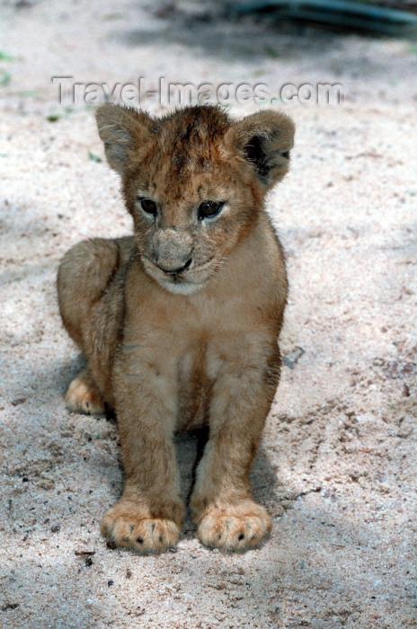 safrica67: South Africa - Pilanesberg National Park: 12 week old lion cub - photo by R.Eime - (c) Travel-Images.com - Stock Photography agency - Image Bank