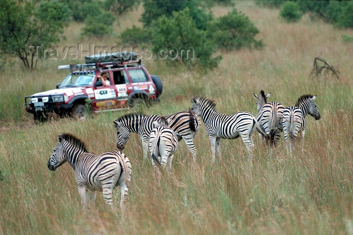 safrica68: South Africa - Hennops - Magaliesburg Mountains (Gauteng province): 4WD enthusiasts enjoy a drive amongst Zebra near Hartebeestport Dam - photo by R.Eime - (c) Travel-Images.com - Stock Photography agency - Image Bank