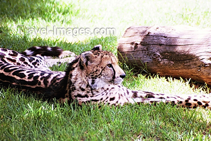 safrica80: South Africa - Pretoria: King Cheetah - Acinonyx jubatus rex - zoo - photo by J.Stroh - (c) Travel-Images.com - Stock Photography agency - Image Bank