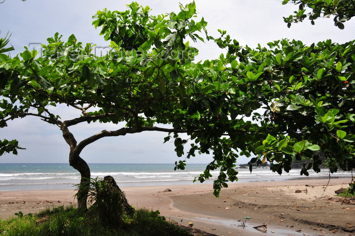 sao-tome126: Praia Sete Ondas - Praia do Morrão dos Castelos, Cantagalo district, São Tomé and Prícipe / STP: beach and Bengal almond, Tropical almond, Sea almond, Terminalia catappa / praia e amendoeira tropical - carroceiro - photo by M.Torres - (c) Travel-Images.com - Stock Photography agency - Image Bank