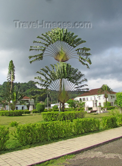 sao-tome13: Santo António, Príncipe island, São Tomé and Príncipe / STP: Independence square - travellers palms on the main square / wooden walkway - árvores do viajante - photo by G.Frysinger - (c) Travel-Images.com - Stock Photography agency - Image Bank