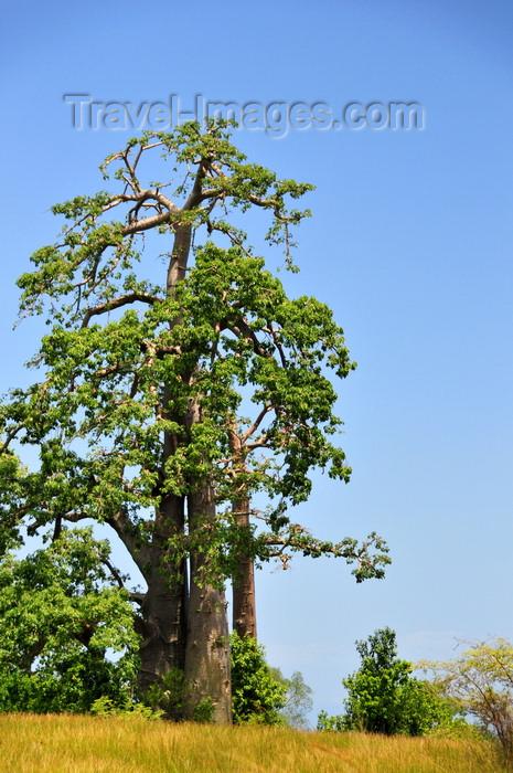 sao-tome147: Praia das Conchas, Lobata district, São Tomé and Príncipe / STP: baobab tree - Adansonia digitata - the name commemorates the French botanist Michel Adanson / imbondeiro - micondó - kremetart - photo by M.Torres - (c) Travel-Images.com - Stock Photography agency - Image Bank