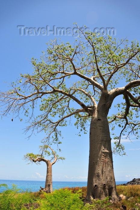 sao-tome155: Lagoa Azul, Lobata district, São Tomé and Príncipe / STP: baobab trees by the Atlantic Ocean - Adansonia digitata / embondeiros em frente ao Oceano Atlântico - photo by M.Torres - (c) Travel-Images.com - Stock Photography agency - Image Bank