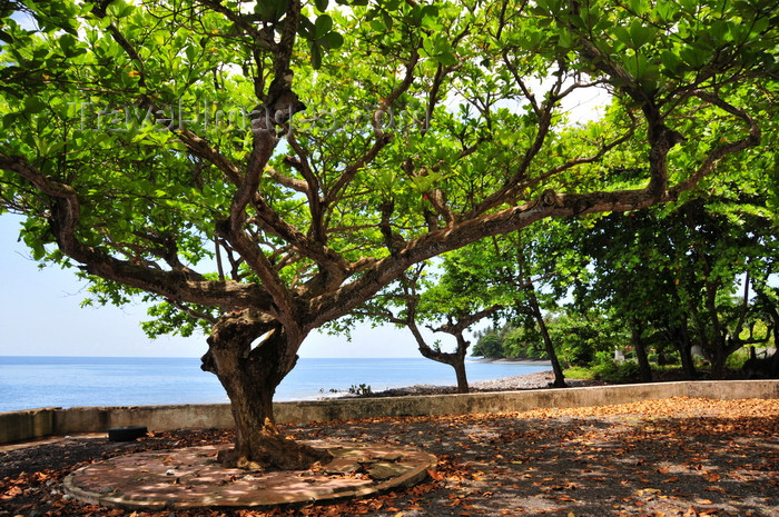 sao-tome183: Anambó / Anabom, Lembá district, São Tomé and Príncipe / STP: sea and Bengal almond tree, Tropical almond, Sea almond, Terminalia catappa / amendoeira tropical - carroceiro - photo by M.Torres - (c) Travel-Images.com - Stock Photography agency - Image Bank