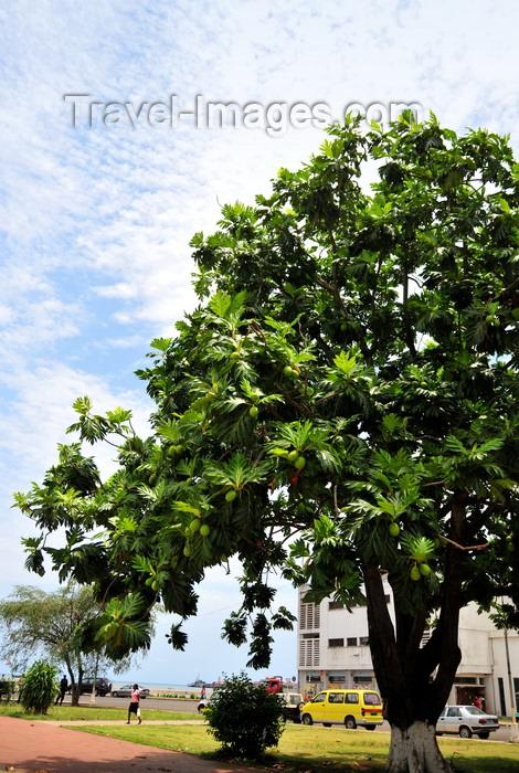 sao-tome220: São Tomé, São Tomé and Príncipe / STP: Breadfruit tree on Independence Square - Artocarpus altilis / árvore de fruta pão na Praça de Independência, antiga Praça da República - photo by M.Torres - (c) Travel-Images.com - Stock Photography agency - Image Bank