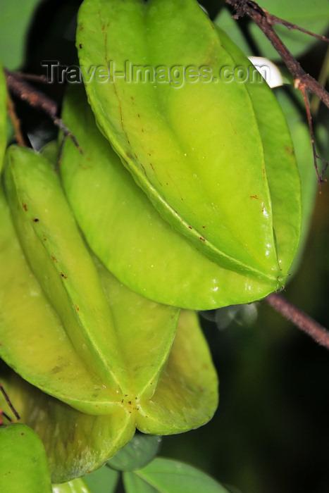 sao-tome26: Príncipe island, São Tomé and Príncipe / STP: starfruit on the tree - Averrhoa carambola / carambolas na árvore - photo by M.Torres - (c) Travel-Images.com - Stock Photography agency - Image Bank