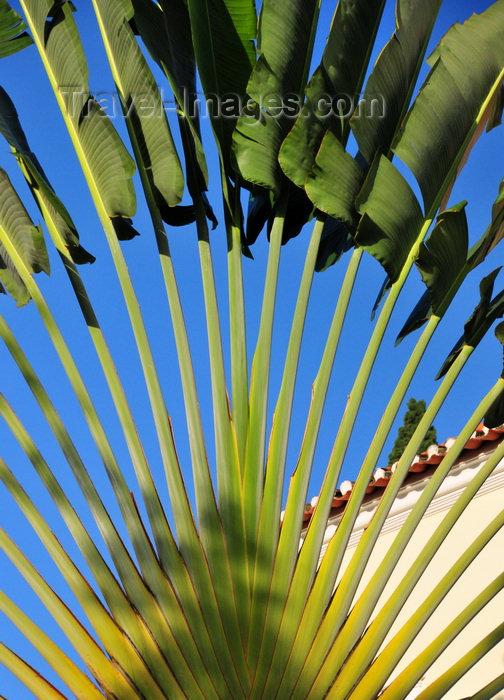 sao-tome3: Trindade, Mé-Zóchi district, São Tomé and Príncipe / STP: Traveller's Palm - Ravenala madagascariensis / Árvore-do-viajante - photo by M.Torres - (c) Travel-Images.com - Stock Photography agency - Image Bank