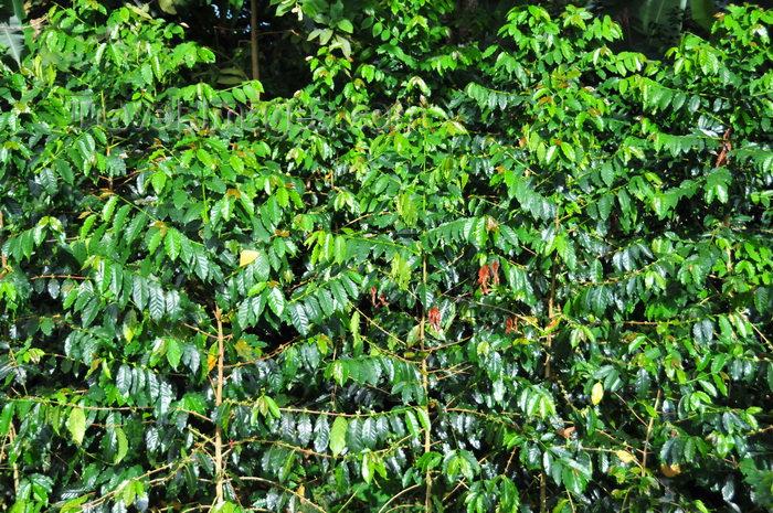 sao-tome58: Saudade Plantation /  Fazenda Saudade, Mé-Zóchi district, São Tomé and Príncipe / STP: coffee plants - robusta variety - Coffea canephora - Conillon / plantas de café - variedade robusta - photo by M.Torres - (c) Travel-Images.com - Stock Photography agency - Image Bank