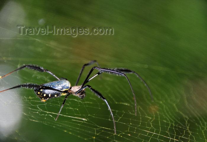 sao-tome61: Saudade Plantation /  Fazenda Saudade, Mé-Zóchi district, São Tomé and Príncipe / STP: large spider on its web / aranha na sua teia - photo by M.Torres - (c) Travel-Images.com - Stock Photography agency - Image Bank