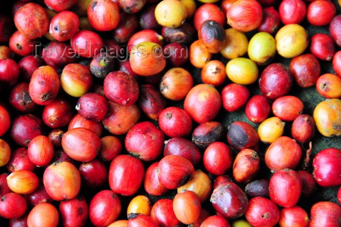 sao-tome73: São João plantation / roça São João, Caué district, São Tomé and Prícipe / STP: coffee fruits / frutos do cafeeiro- photo by M.Torres - (c) Travel-Images.com - Stock Photography agency - Image Bank
