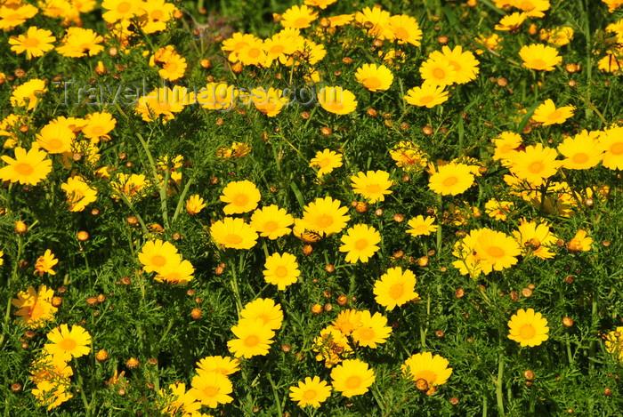 sardinia261: Isili, Cagliari province, Sardinia / Sardegna / Sardigna: flowers in the Sarcidano valley - photo by M.Torres - (c) Travel-Images.com - Stock Photography agency - Image Bank