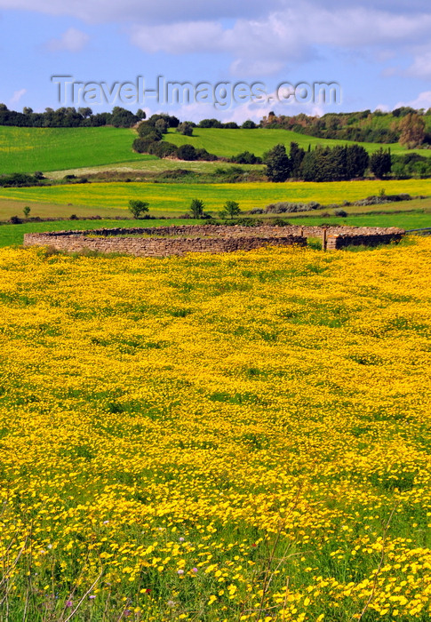 sardinia265: Isili, Cagliari province, Sardinia / Sardegna / Sardigna: stone structure on a field of yellow wild flowers - Sarcidano sub-region - photo by M.Torres - (c) Travel-Images.com - Stock Photography agency - Image Bank
