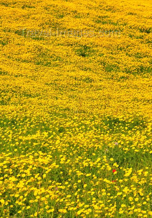 sardinia266: Isili, Cagliari province, Sardinia / Sardegna / Sardigna: field of yellow wild flowers - Sarcidano sub-region - photo by M.Torres - (c) Travel-Images.com - Stock Photography agency - Image Bank