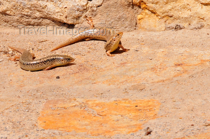 sardinia288: Uta / Uda, Cagliari province, Sardinia / Sardegna / Sardigna: Ocellated skinks bask in the sun - Chalcides ocellatus - lizards with short legs - photo by M.Torres - (c) Travel-Images.com - Stock Photography agency - Image Bank