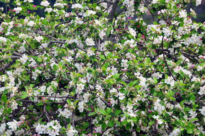 sardinia34: Urzulei, Ogliastra province, Sardinia / Sardegna / Sardigna: almond tree in blossom - photo by M.Torres - (c) Travel-Images.com - Stock Photography agency - Image Bank