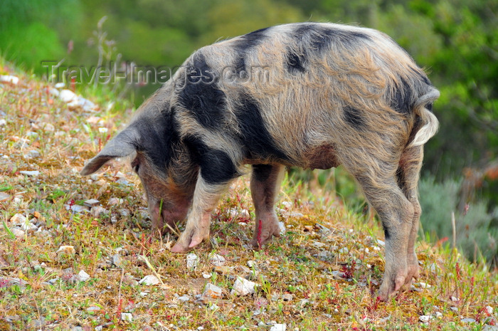 sardinia35: Urzulei, Ogliastra province, Sardinia / Sardegna / Sardigna: a pig roams free - photo by M.Torres - (c) Travel-Images.com - Stock Photography agency - Image Bank