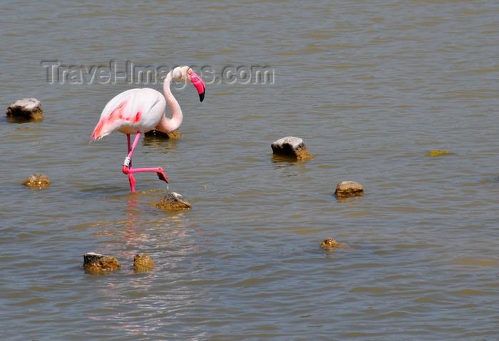 sardinia374: Cagliari, Sardinia / Sardegna / Sardigna: pink flamingo on the eastern lagoon - Stagno di Molentargius - photo by M.Torres - (c) Travel-Images.com - Stock Photography agency - Image Bank