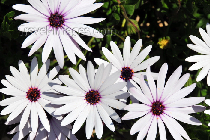 sardinia75: Tuili, Medio Campidano province, Sardinia / Sardegna / Sardigna: white daisies in the garden of the town hall - Asteraceae - photo by M.Torres - (c) Travel-Images.com - Stock Photography agency - Image Bank