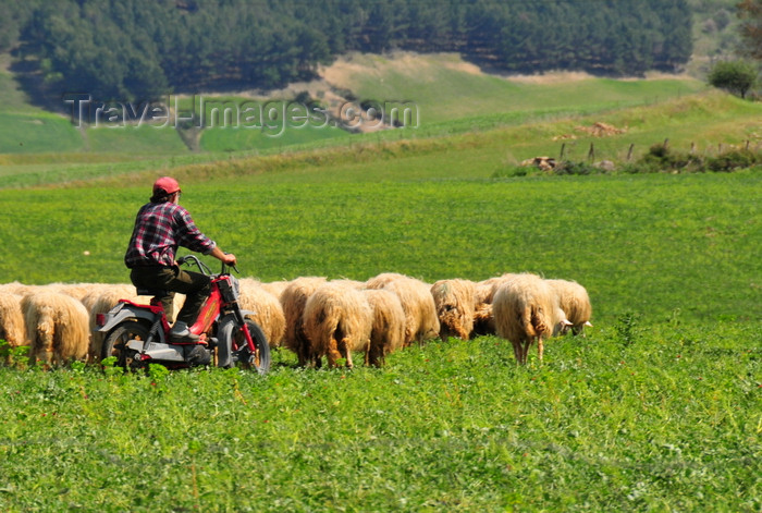 sardinia81: Barumini, Medio Campidano province, Sardinia / Sardegna / Sardigna: shepherd using a motorbike to lead his sheep - Marmilla region - photo by M.Torres - (c) Travel-Images.com - Stock Photography agency - Image Bank