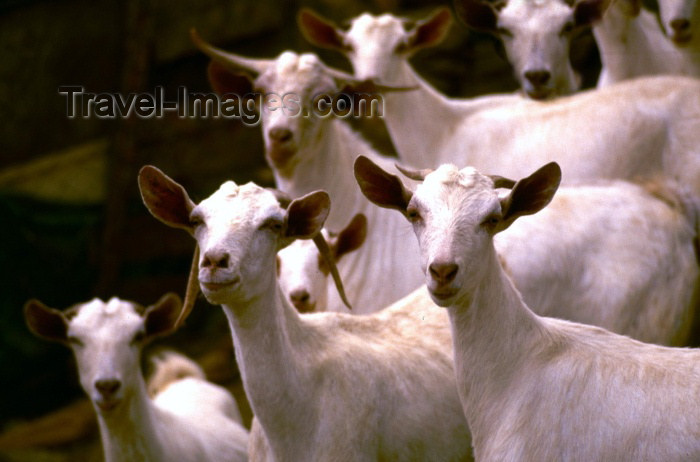 saudi-arabia2: Saudi Arabia - Asir province: white goats posing for the photographer (photo by F.Rigaud) - (c) Travel-Images.com - Stock Photography agency - Image Bank