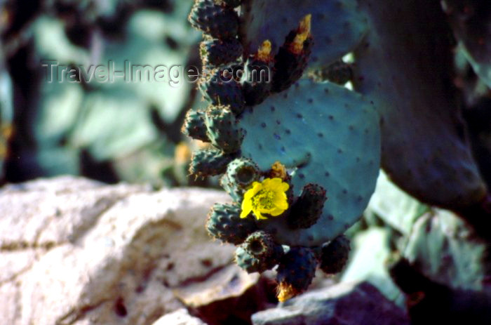 saudi-arabia3: Saudi Arabia - Asir province: cactus blossoming - photo by F.Rigaud  - (c) Travel-Images.com - Stock Photography agency - Image Bank