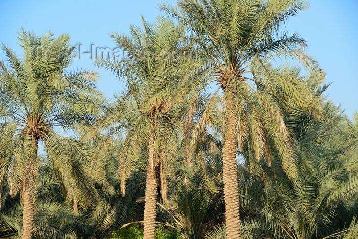 saudi-arabia98: Saudi Arabia - Wadi Hanifa: blossoming jacaranda (photo by F.Rigaud) - (c) Travel-Images.com - Stock Photography agency - Image Bank