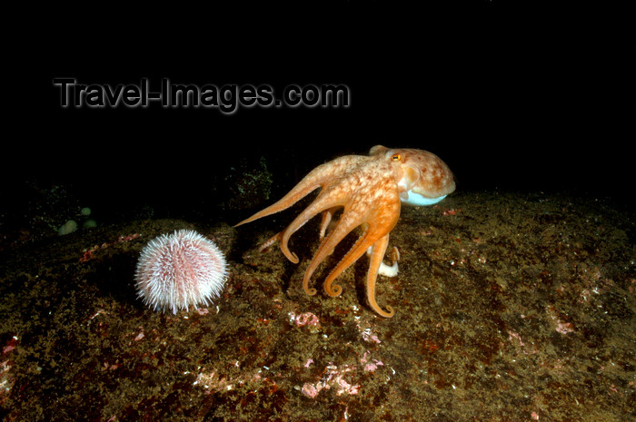 scot220: St. Abbs, Berwickshire, Scottish Borders Council, Scotland: Lesser or curled octopus and sea urchin - Eledone cirrhosa - photo by D.Stephens - (c) Travel-Images.com - Stock Photography agency - Image Bank