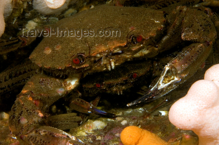 scot223: St. Abbs, Berwickshire, Scottish Borders Council, Scotland: mating velvet swimming crabs - Necora puber - photo by D.Stephens - (c) Travel-Images.com - Stock Photography agency - Image Bank