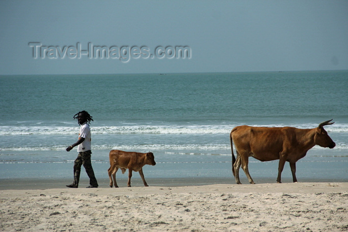 senegal109: Cap Skirring, Oussouye, Basse Casamance (Ziguinchor), Senegal: Cow and calf walking on the beach, everyday life / Vacas a caminhar na praia, vida quotidiana - photo by R.V.Lopes - (c) Travel-Images.com - Stock Photography agency - Image Bank