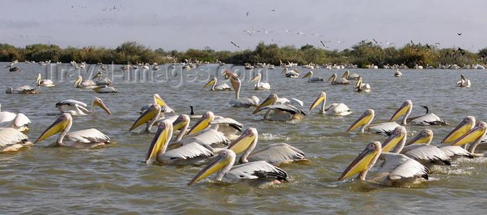 senegal21: Senegal - Djoudj National Bird Sanctuary:  pelicans - photo by G.Frysinger - (c) Travel-Images.com - Stock Photography agency - Image Bank