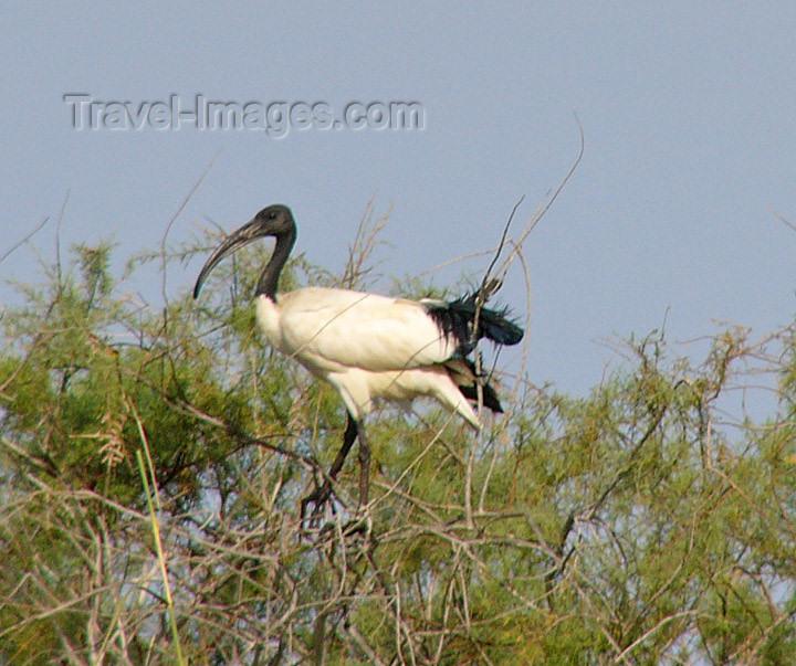 senegal24: Senegal - Djoudj National Bird Sanctuary:  ibis - photo by G.Frysinger - (c) Travel-Images.com - Stock Photography agency - Image Bank