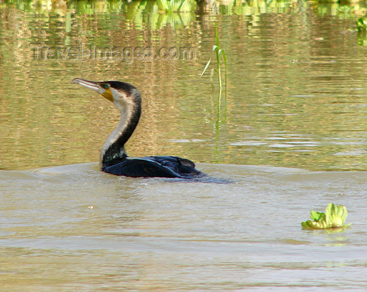 senegal25: Senegal - Djoudj National Bird Sanctuary:  cormorant swimming - photo by G.Frysinger - (c) Travel-Images.com - Stock Photography agency - Image Bank