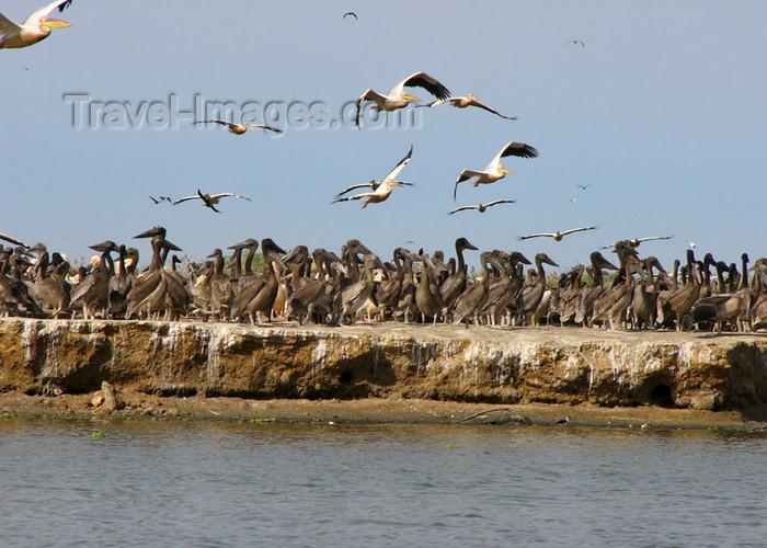senegal28: Senegal - Djoudj National Bird Sanctuary:  pelicans colony - photo by G.Frysinger - (c) Travel-Images.com - Stock Photography agency - Image Bank