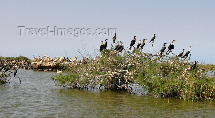 senegal29: Senegal - Djoudj National Bird Sanctuary: cormorants on the vegetation - photo by G.Frysinger - (c) Travel-Images.com - Stock Photography agency - Image Bank