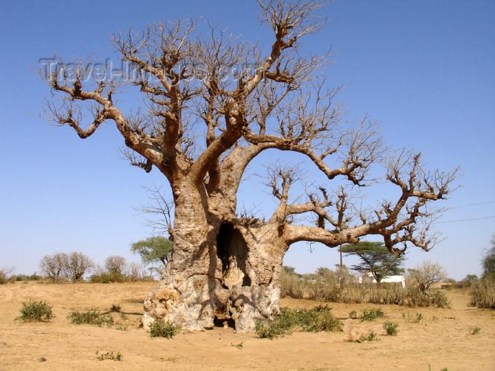 senegal63: Senegal - Savannah: African Baobab tree - Adansonia digitata - calebassier du Sénégal - bottle tree - photo by G.Frysinger - (c) Travel-Images.com - Stock Photography agency - Image Bank