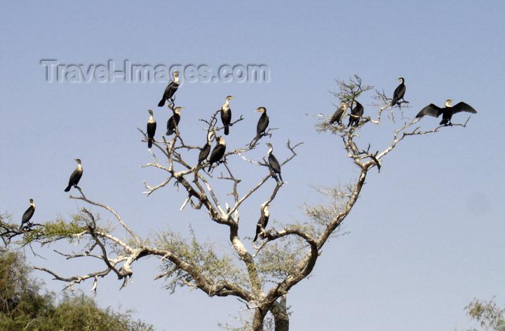 senegal8: Senegal - Djoudj National Bird Sanctuary: cormorants - UNESCO world heritage site - photo by G.Frysinger - (c) Travel-Images.com - Stock Photography agency - Image Bank