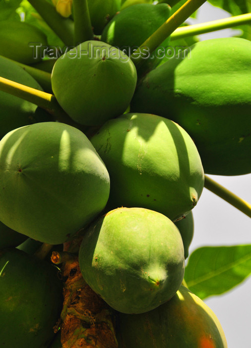 seychelles107: Mahe, Seychelles: Anse à la Mouche - papayas on the tree - photo by M.Torres - (c) Travel-Images.com - Stock Photography agency - Image Bank