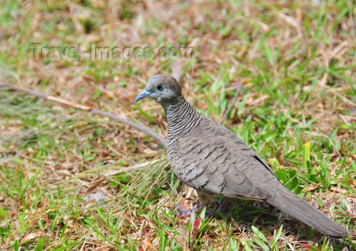 seychelles118: Mahe, Seychelles: Anse Etoile - Turtle-Dove - Tourterelle - bird - fauna - photo by M.Torres - (c) Travel-Images.com - Stock Photography agency - Image Bank