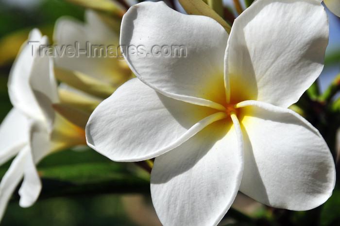 seychelles140: Mahe, Seychelles: Grand Anse - white plumeria flowers - frangipani - photo by M.Torres - (c) Travel-Images.com - Stock Photography agency - Image Bank