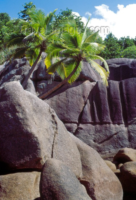 seychelles33: Seychelles - Mahe island: Anse Takamaka - palm trees grown on the rocks - photo by F.Rigaud - (c) Travel-Images.com - Stock Photography agency - Image Bank