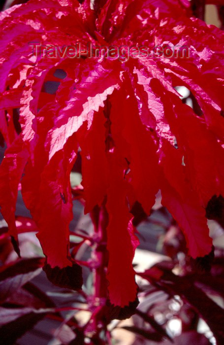 seychelles35: Seychelles - Praslin island: red leaves - photo by F.Rigaud - (c) Travel-Images.com - Stock Photography agency - Image Bank