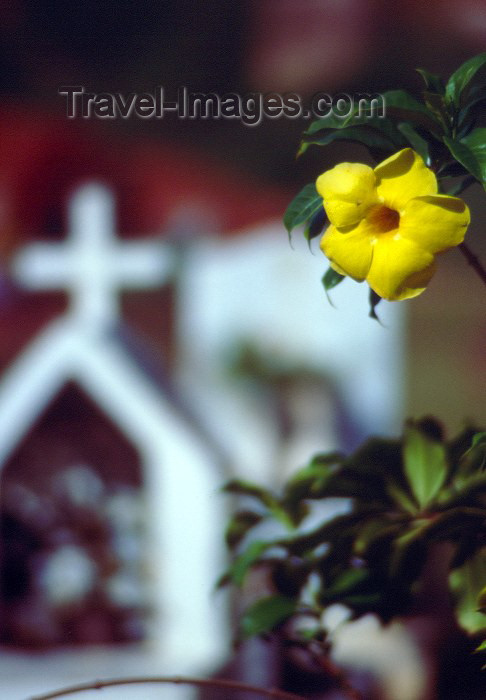 seychelles59: Seychelles - La Digue island: Golden Trumpet / alamanda - flower at the cemetary - photo by F.Rigaud - (c) Travel-Images.com - Stock Photography agency - Image Bank