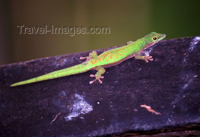 seychelles63: Seychelles - La Digue island: gecko - photo by F.Rigaud - (c) Travel-Images.com - Stock Photography agency - Image Bank
