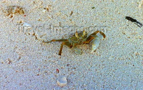 seychelles69: Seychelles - Astove island: crab on the sand (photo by G.Frysinger)) - (c) Travel-Images.com - Stock Photography agency - Image Bank