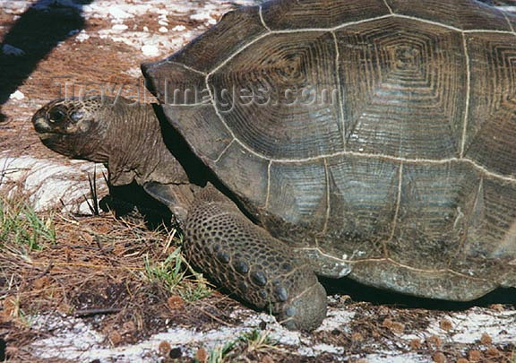 seychelles70: Seychelles - Astove island: land tortoise - giant turtle (photo by G.Frysinger)) - (c) Travel-Images.com - Stock Photography agency - Image Bank