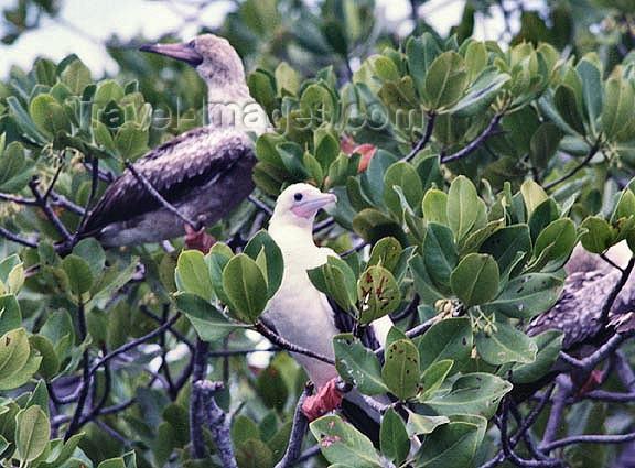 seychelles72: Seychelles - Aldabra: bird nesting colony (photo by G.Frysinger)) - (c) Travel-Images.com - Stock Photography agency - Image Bank