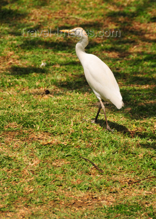 seychelles77: Mahe, Seychelles: egret on the cathedral's lawn - photo by M.Torres - (c) Travel-Images.com - Stock Photography agency - Image Bank