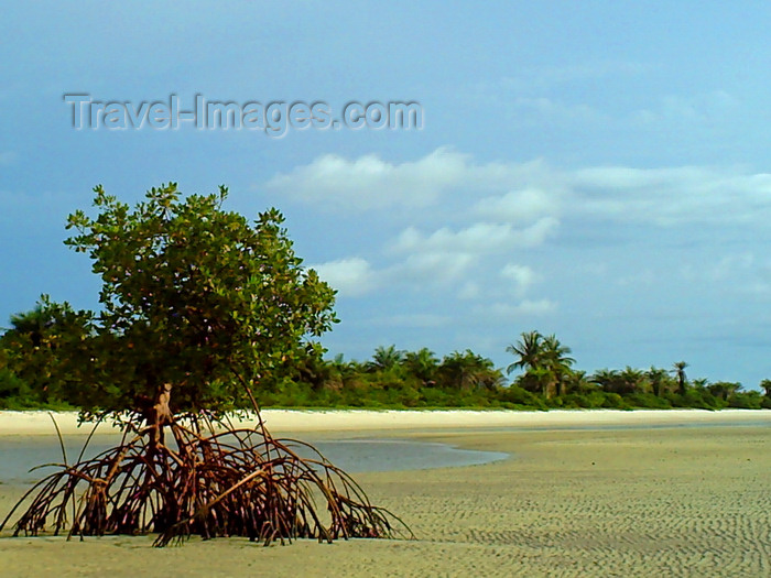 sierra-leone29: Turtle Islands, Southern Province, Sierra Leone: mangrove tree on the low tide - photo by T.Trenchard - (c) Travel-Images.com - Stock Photography agency - Image Bank
