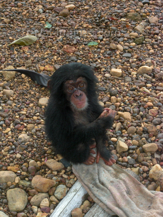 sierra-leone30: Kono district,  Eastern Province, Sierra Leone:  'Mugabe' - an orphaned baby chimpanzee - photo by T.Trenchard - (c) Travel-Images.com - Stock Photography agency - Image Bank