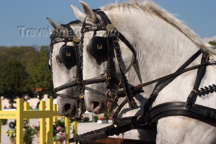 slovenia142: Slovenia - Lipica / Lipizza - Goriska region: Lipica stud farm - Combined driving event / Horse Driving Trials - Carriage Driving - pair of lipizzaner / lipicanec horses - photo by I.Middleton - (c) Travel-Images.com - Stock Photography agency - Image Bank
